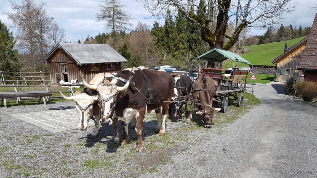 Ochsen vor Gesellschaftswagen