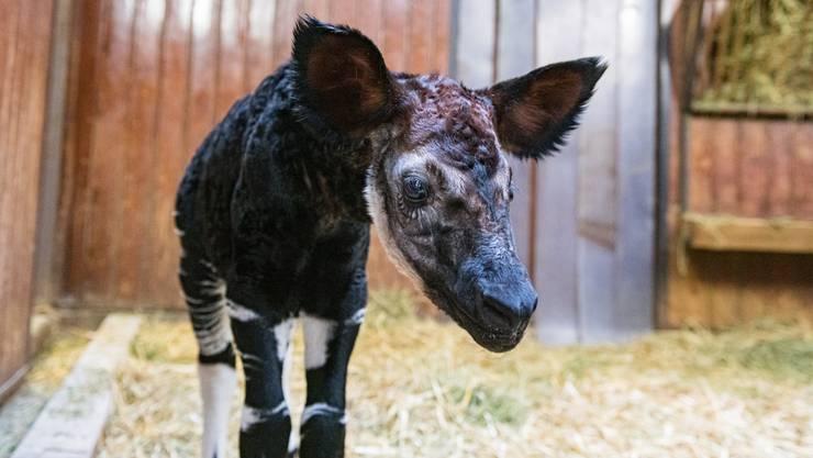 Okapi Quinta im Basler Zoo, Zolli