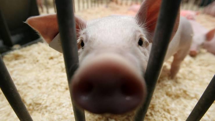 Hundert Ferkel und zehn Mutterschweine ersticken im Qualm (Symbolbild)