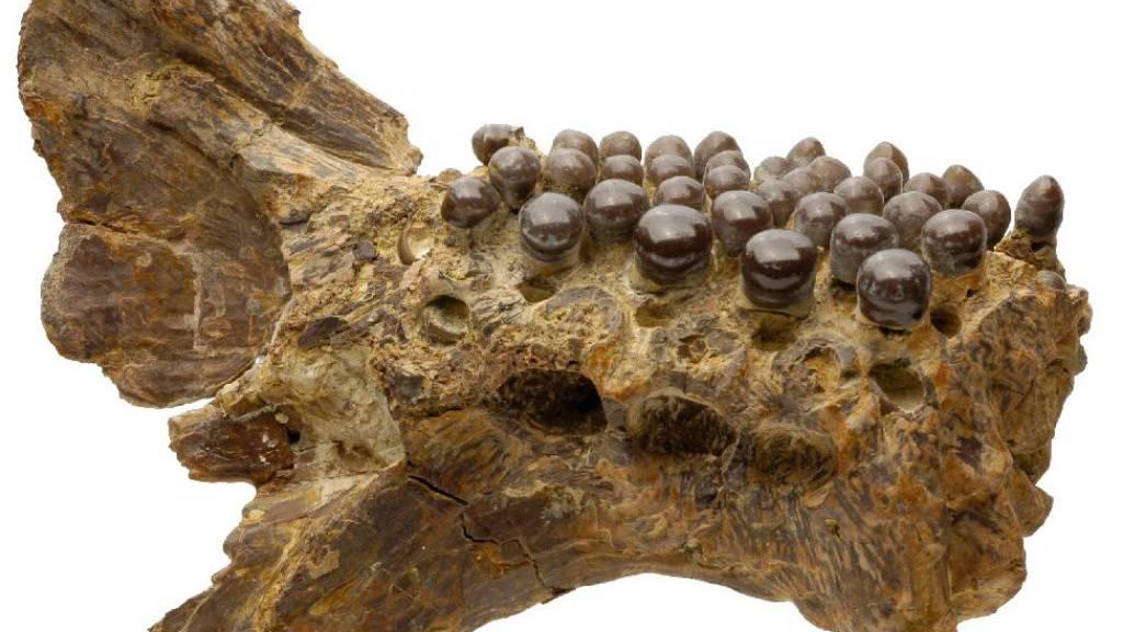 Unterkiefer eines ausgestorbenen Fischs mit einem besonderen System des Zahnersatzes.