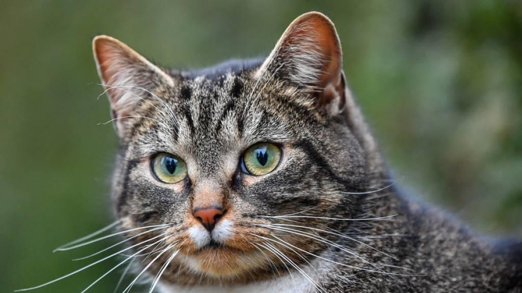 Schweizer Katze mit Coronavirus infiziert