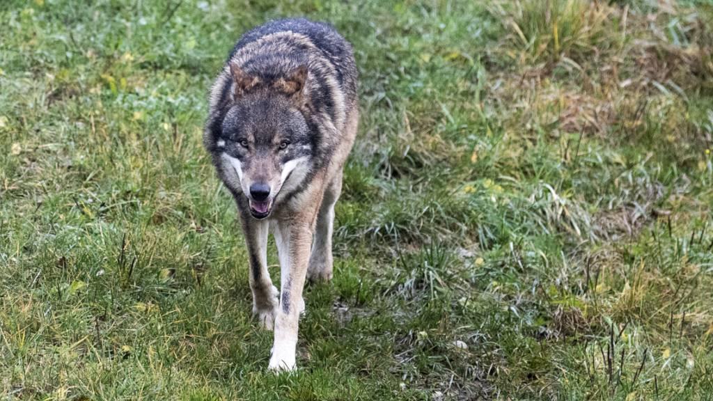 Elf Schafe gerissen: Wolf treibt im Urserntal sein Unwesen