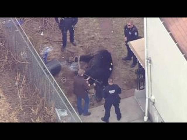 Schliesslich wird der Stier von den Polizisten gefasst.