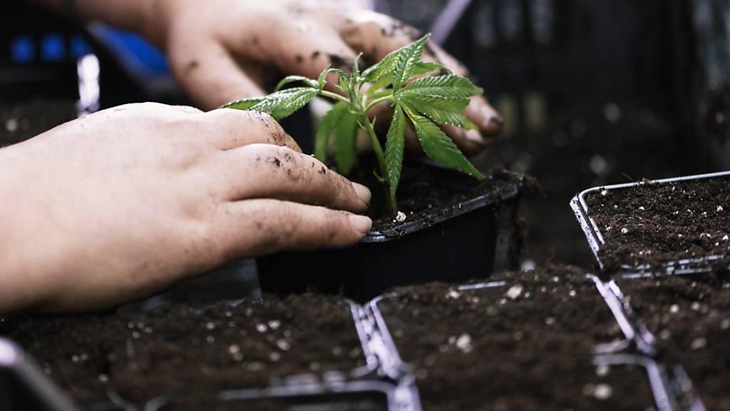 Cannabis-Legalisierung in der Schweiz einen Schritt weiter