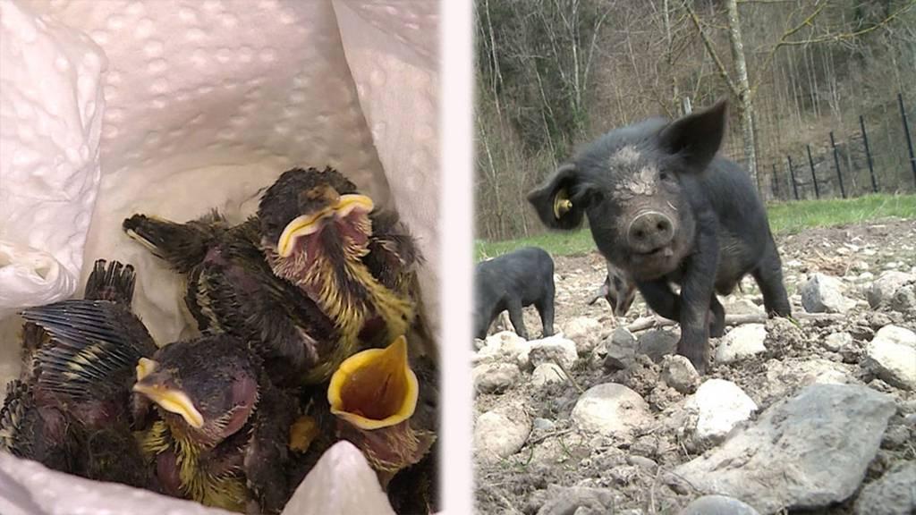 Hilfe für Jungvögel / Schwarze Alpschweine