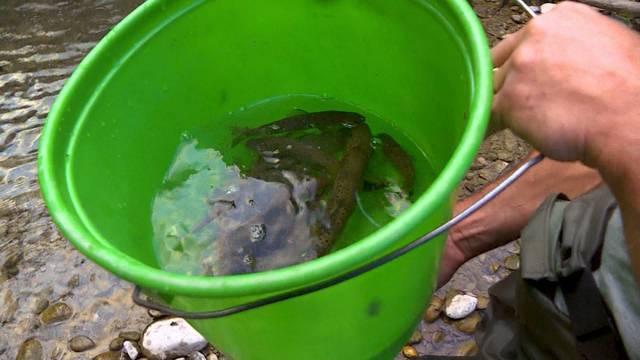 Fische kämpfen wegen Hitze ums Überleben
