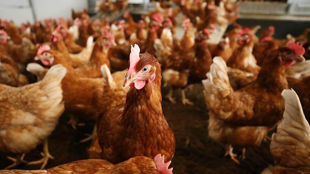 Mehrere Fälle von Vogelgrippe in der Nähe von Schaffhausen