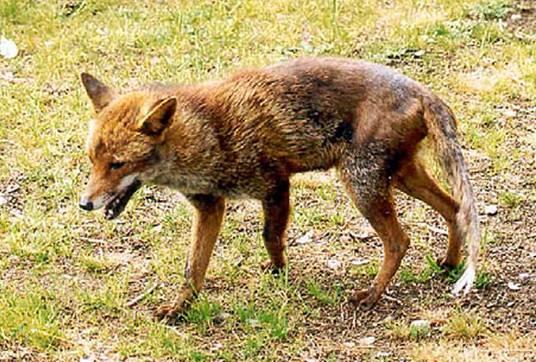 Ein mit Räude infizierter Fuchs.
