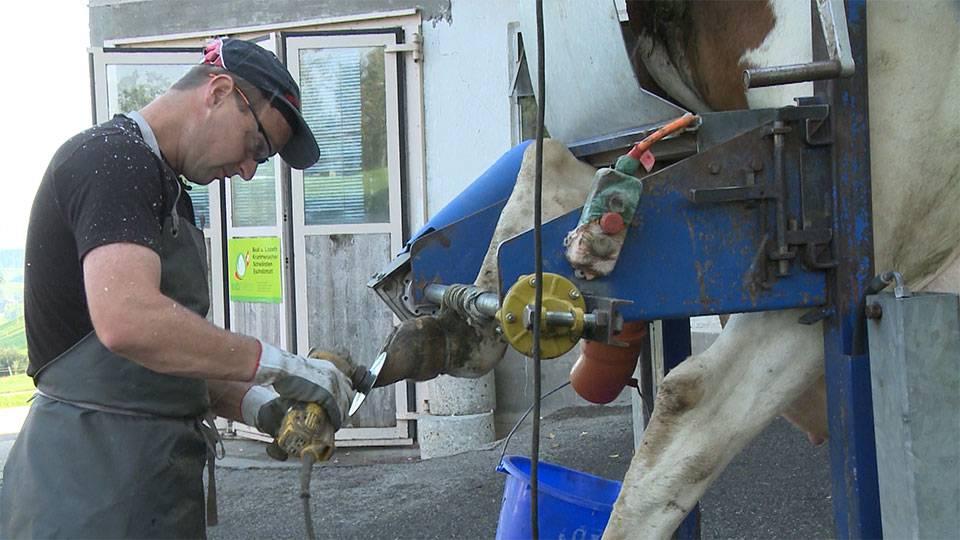 Pedicure für Kühe
