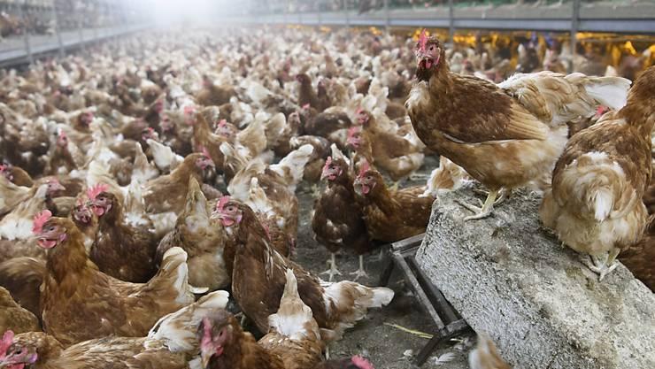 Während die Vogelgrippe für Hausgeflügel eine Gefahr darstellt, gibt es bisher keine Hinweise darauf, dass die Vogelgrippe vom Subtyp H5N8 auf Menschen übertragen wird. (Symbolbild)