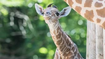 Giraffenbaby im Zoo Basel Juli 2017