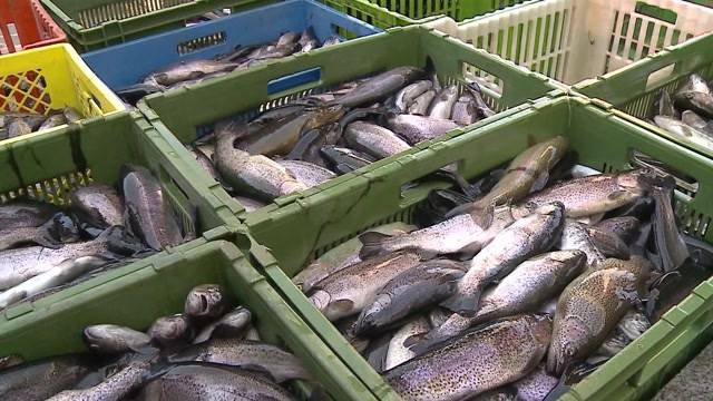 7000 Fische in Birmenstorf vergiftet (25.8.2015)