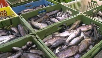 Für den Fischzüchter Roman Hufschid ist es ein riesen Schock. Wegen Bauarbeiten auf der Autobahnbrücke gerieten giftige Partikel ins Wasser. Dies bedeutete das Ende für seine Tiere. Rund 7000 Forellen musste der Besitzer töten und vernichten.