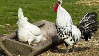 Ein krähender Hahn bereitet nicht immer und überall Freude. (Symbolbild)