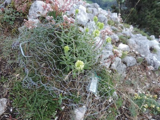 Blühendes Ysopblättriges Gliedkraut wird mit einem Erbsenkorb gegen den Verbiss durch die Gämsen geschützt.