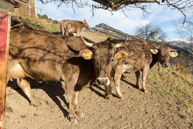 Kuehe sonnen sich auf einer Weide bei milden 14 Grad in Maladers im buendnerischen Schanfigg. (KEYSTONE/Arno Balzarini)