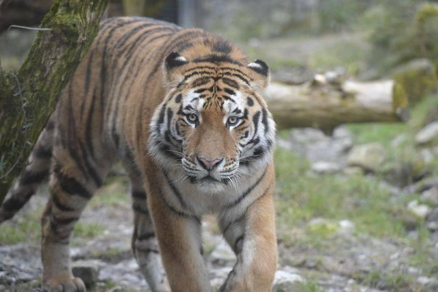 Neuer Tiger im Zoo Zürich