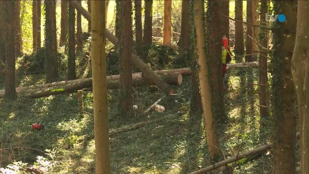 Nistplätze für Borkenkäfer: Wald im TG hat viel Schadholz
