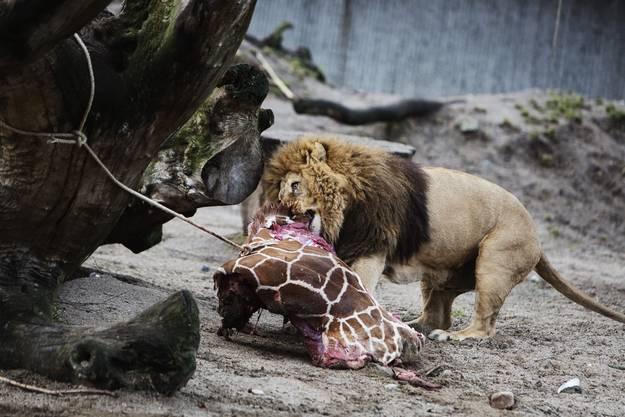 Die Löwen erhalten Frischfleisch: Giraffe Marius starb wenige Stunden zuvor