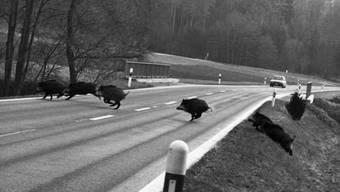 Eine Wildschweinrotte hat im Süden Deutschlands eine Serie von Unfällen ausgelöst. (Symbolbild)