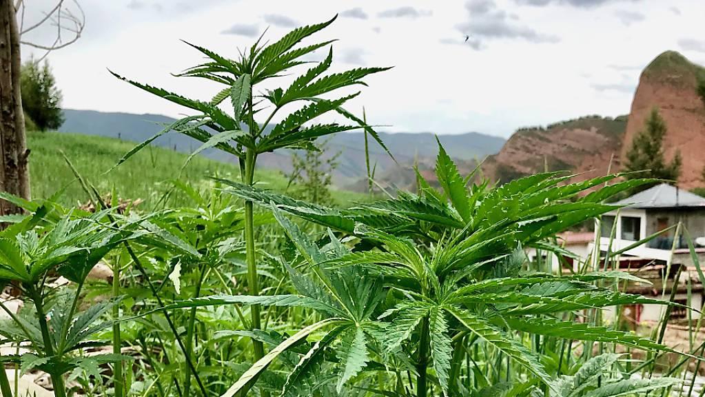 Cannabis-Pflanzen in der zentralchinesischen Provinz Qinghai: Eine Studie weist darauf hin, dass Cannabis seinen Ursprung wohl in Ostchina hat. (Handout Science Advances)