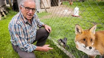 In Wahlen hat ein Fuchs gewütet: Der Laufentaler Gerold Schmidlin musste gestern in seinem Gehege erneut ein totes Huhn feststellen. (Fotomontage)