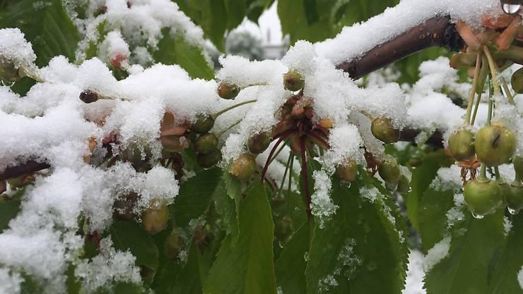 Wegen dem Frost und Schnee von Ende April gibt es 2017 keine Tafelkirschen aus der Region Basel.