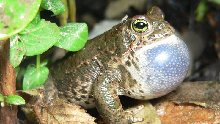 Seit 1999 überwacht der Kanton Aargau die Amphibienbestände mittels eines Monitorings.