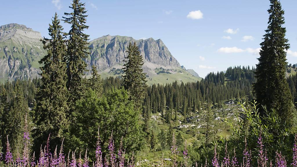 Der Bödmerenwald im Kanton Schwyz ist eines der fünfzig Reservate in der Schweiz, in dem die Entwicklung vom Nutzwald zum Urwald erforscht wird.