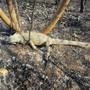 HANDOUT - In einem von einem Feuer betroffenen Gebiet des Pantanal liegt ein toter Leguan. Foto: Susan Weller/Panthera/dpa - ACHTUNG: Nur zur redaktionellen Verwendung im Zusammenhang mit der aktuellen Berichterstattung und nur mit vollständiger Nennung des vorstehenden Credits