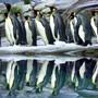 Stickstoff im Stuhlgang von Königs-Pinguinen verbindet sich mit Bodenbakterien zu Lachgas. Rein theoretisch verströmen sie also einen schmerzstillenden Duft. (Archivbild)