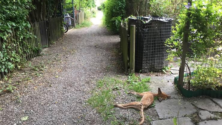 Der Fuchs verendete vor dem Gartentor.. Bild: ksc