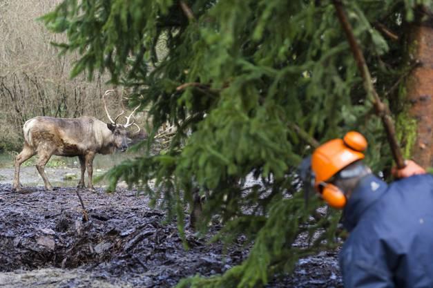 Die Rentiere verfolgen die Installation der Bäume im Gehege neugierig