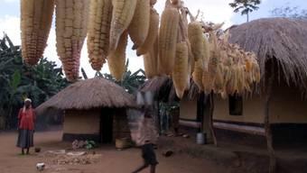 Die Maisernte in Malawi wird stark betroffen sein von der Raupenplage (Archiv)