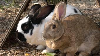 Kaninchen: Für sie ist Zweisamkeit nicht zwingend. (zvg)