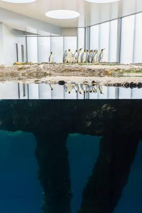 Den Pinguinen scheint ihr neues Heim zu gefallen. Ihnen stehen erhöhte Brutplätze, Nestnischen und ein neues zweites Schwimmbecken zur Verfügung.