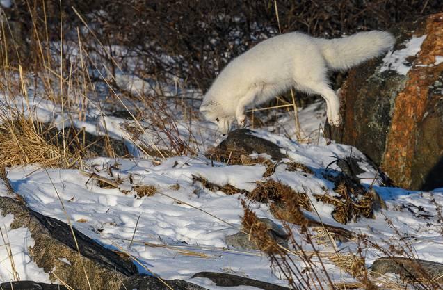 Der kleine Polarfuchs hat eine Maus unter der Schneedecke geortet.