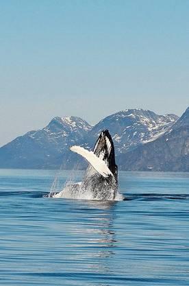 Ein Buckelwal taucht im Fjord Nuuk auf.