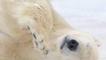 Angeschossener Eisbär sorgt für Aufruhr (Symbolbild)