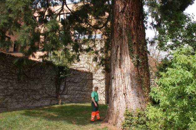 Solche über 100-jährigen Bäume gibt es nur noch selten