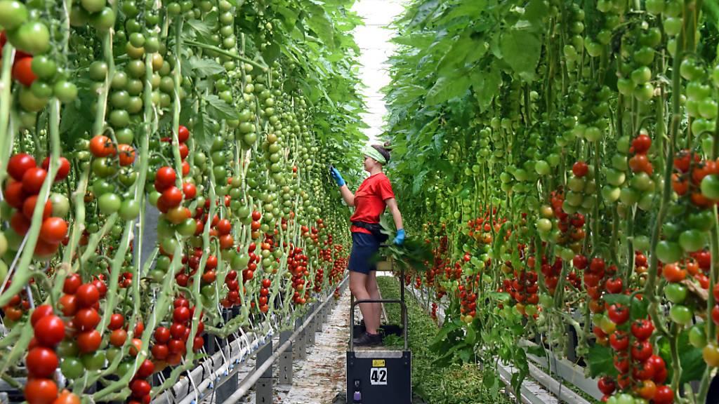 «Tomatenvirus» in Kanton Thurgau eingeschleppt