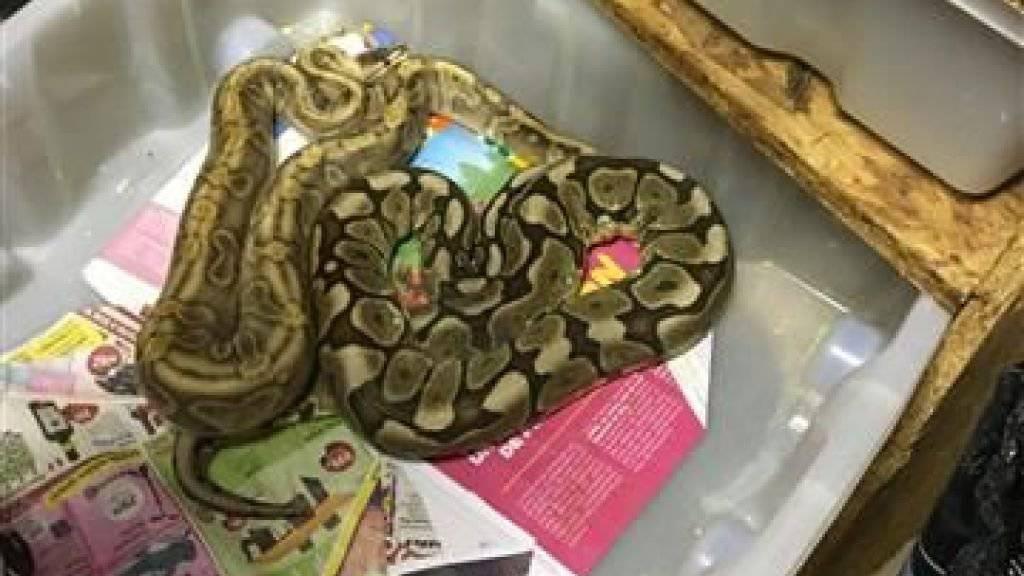 Im Keller eines Hauses in Vallorbe (VD) hat die Polizei neben Hanfpflanzen fast 70 Reptilien entdeckt, darunter zwei Schlangen.
