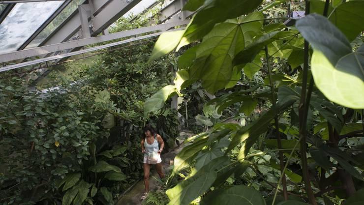 Trübe Scheiben hindern das Wachstum der Tropenpflanzen.