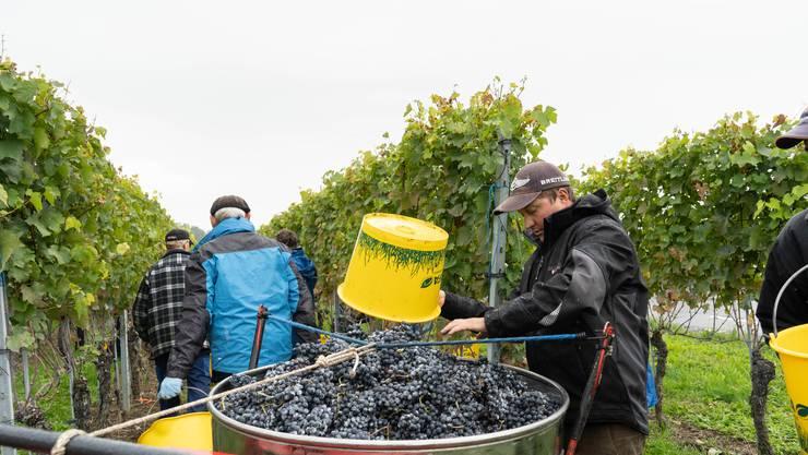 Das Team für die Traubenlese hofft jetzt noch auf vier bis fünf trockene Tage, um die übrigen Trauben einzuholen.