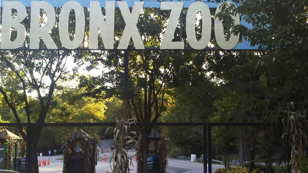 Coronavirus bei weiteren Tigern und Löwen in New Yorker Zoo