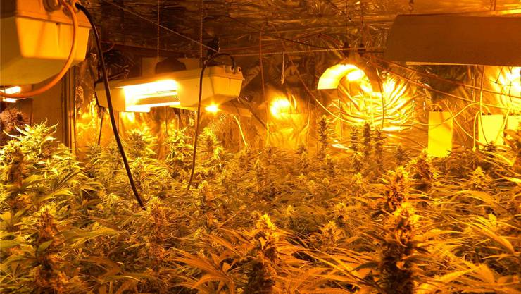 Diese 900 Hanfpflanzen erlebten die Ernte nicht mehr. Die Polizei hat sie abtransportiert und vernichtet. PKS