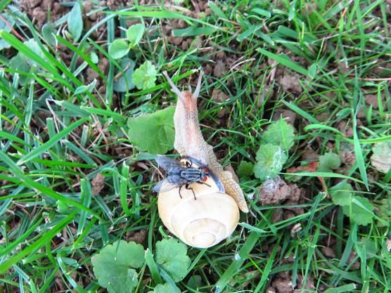Schnecke und Fliege scheinen sich zu mögen.