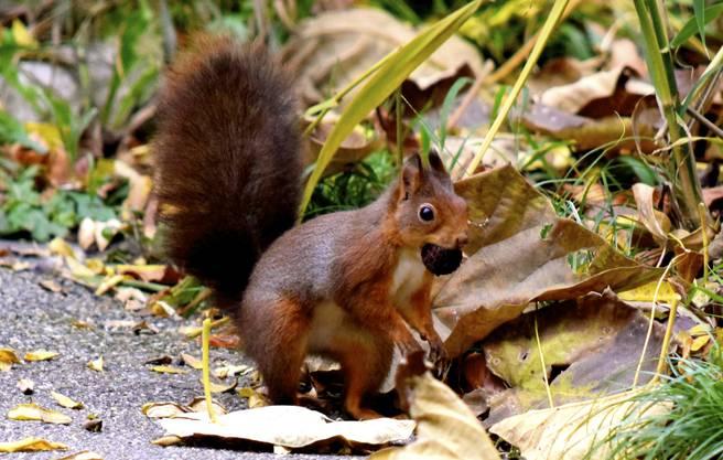 Fleissig dieses Eichhörnchen, es wird im Winter genug Nüsse zum überleben haben.