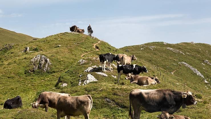 Wanderer müssen sich beim Durchqueren von Alpweiden an bestimmte Regeln halten. Das Oberlandesgericht Innsbruck hat dem Opfer einer Kuh-Attacke eine Mitschuld zugesprochen. (Symbolbild)
