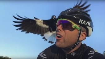 Australischer Radfahrer wird von einer Elster immer zu angegriffen.